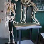 2009 - Skelette vom Mensch und Affen